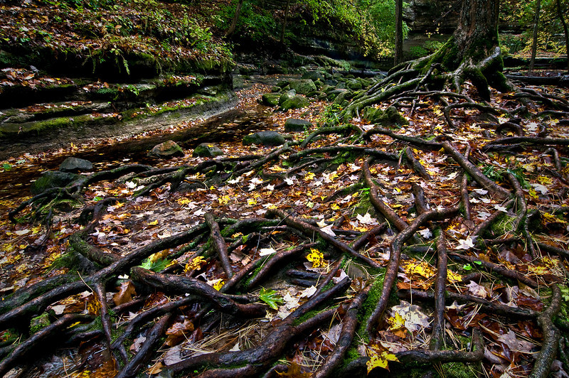 SR 043                      Autumn leaves cover exposed tree roots in the Dells Area of Matthiessen State Park, Utica, Illinois.