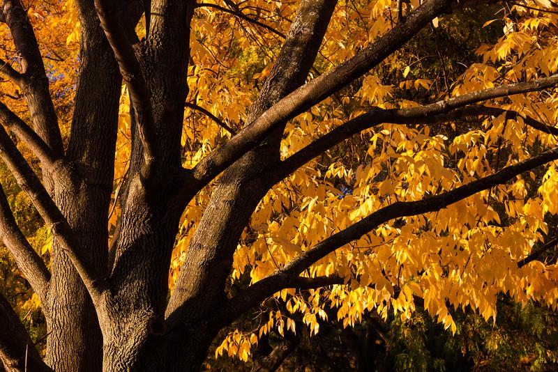 Ash tree in fall color. Naperville, IL<br /> <br /> IL-111009-0033
