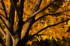 Ash tree in fall color. Naperville, IL<br /> <br /> IL-111009-0033