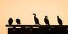 Cormorants on a Groin