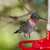 Ruby Throated Hummingbird Hovering at Feeder