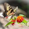 Tiger Swallowtail on