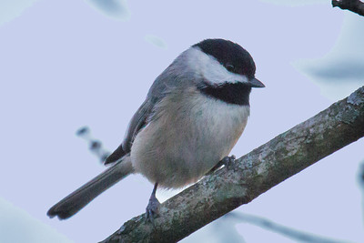 Chicadee in Black and White