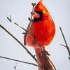 Male Cardinal Watching