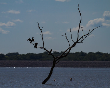Cormorants on Tree at Carlyle Lake