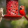 Cardinal and Sparrow on Feeder