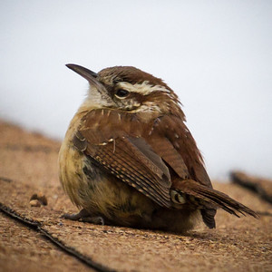 Carolina Wren on Roof in Winter