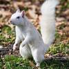 Hello White Squirrel