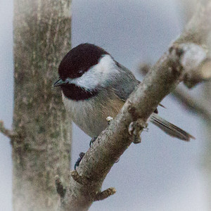 Chicadee in Cold