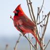 Male Cardinal in Winter Breeze