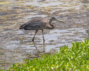 Blue Heron in Olney