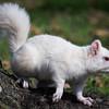 White Squirrel in Olney, Illinois