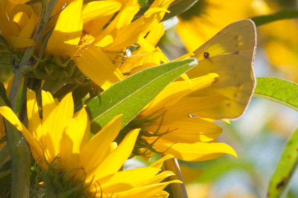 Sulphur in Sunflowers