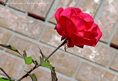 Single Rose Illustrate 8.11.17