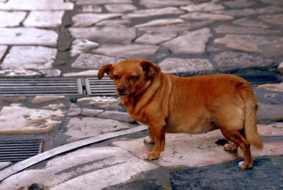 Canine Jay.