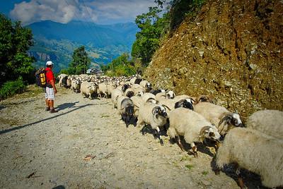 30 minutes into the trek; sheep aplenty