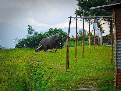 I've no idea what this buffalo bull was doing.