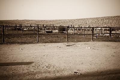 At the camel ranch