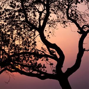 Flowering apple tree at sunset
