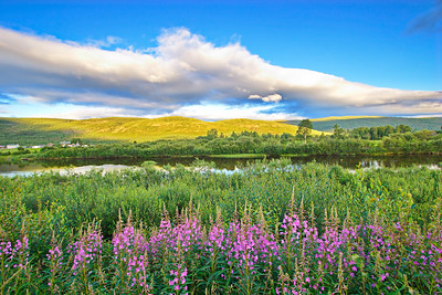 Fireweed is blooming in a meadow at the shore of river Tanaelva