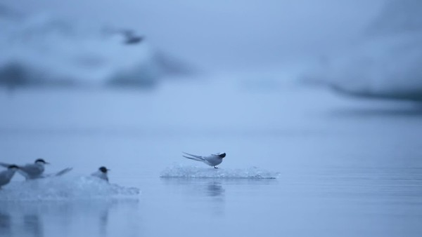 Nocturnal video showing artic terns passing by on small icebergs on the Jökulsárlón glacial lake in southeast Iceland