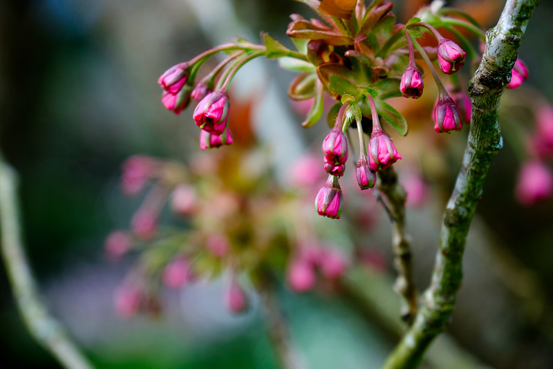 Cherry Blossoms pending
