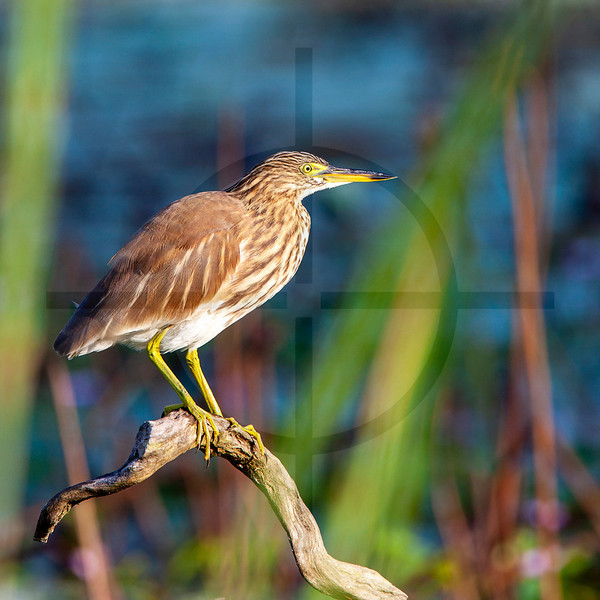 Indian pond heron, Koshi Tappu Wildlife Reserve, Nepal