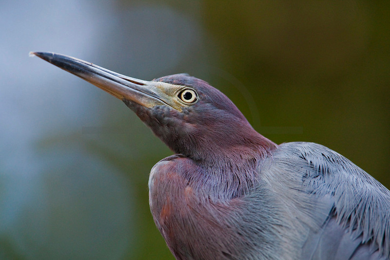 Little blue heron, Tortuguero National Park, Costa Rica