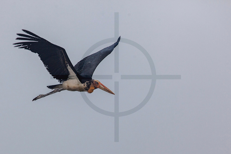 Lesser adjutant in flight on a foggy morning, Royal Chitwan National Park, Nepal