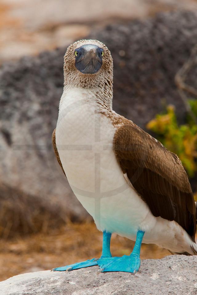 Blue-footed booby (male) perching, Punta Suárez, Española, Galápagos Islands, Ecuador