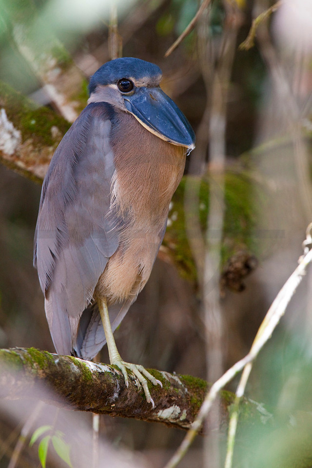Boat-billed heron (juvenile), Caño Negro National Wildlife Refuge, Costa Rica