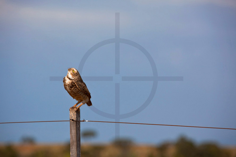 Burrowing owl on a fence looking up, Chapada dos Guimerães, Mato Grosso, Brazil