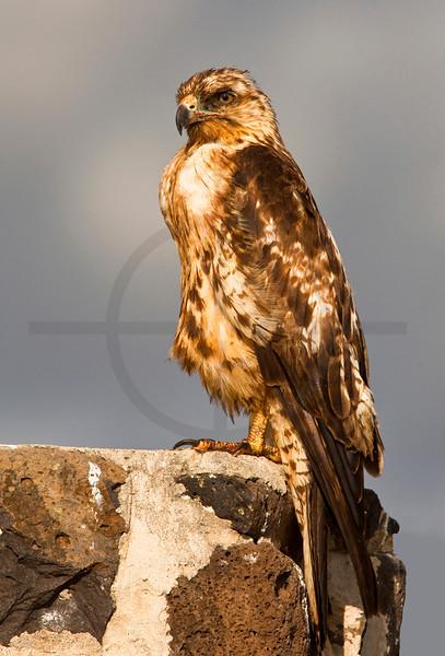 Galápagos hawk (juvenile), Santa Fé, Galápagos Islands, Ecuador