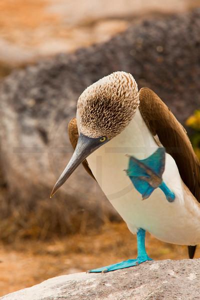 Blue-footed booby (male) about to scratch itself, Punta Suárez, Española, Galápagos Islands, Ecuador