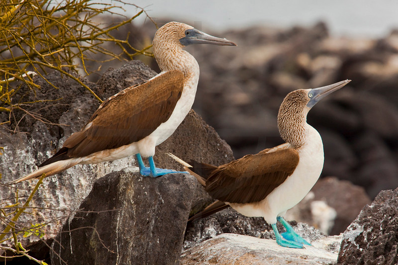 Pair of blue-footed boobies perching, Punta Suárez, Española, Galápagos Islands, Ecuador