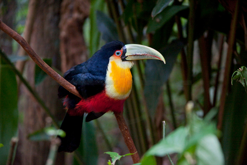 Red-breasted toucan, Iguazu bird park, Paraná, Brazil