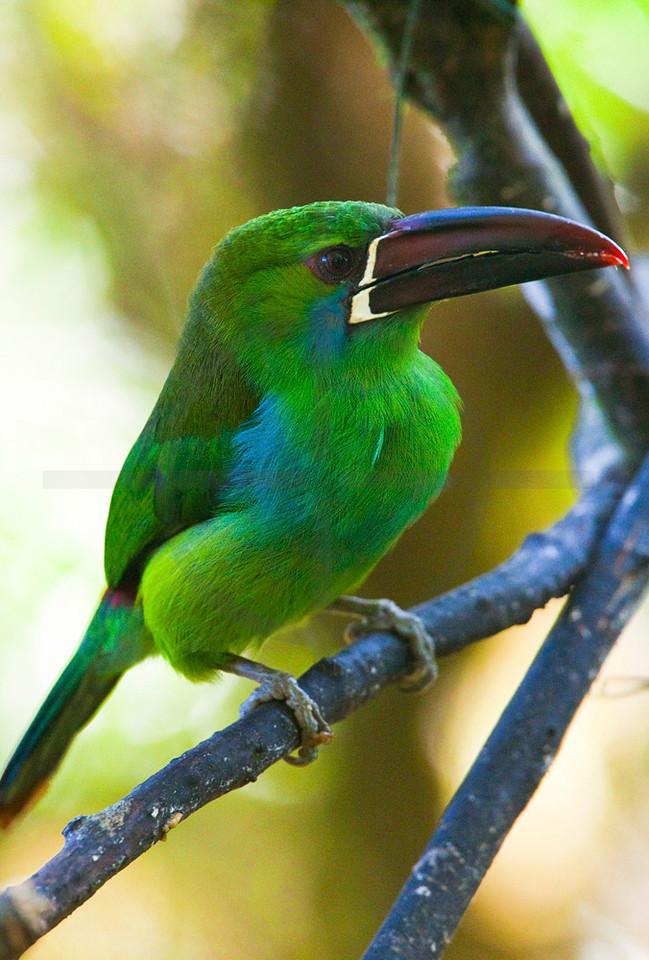 Emerald toucanet, Angel Paz Reserve, Ecuador