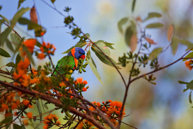 Red-collared lorikeet, Nitmuluk National Park, Northern Territory, Australia