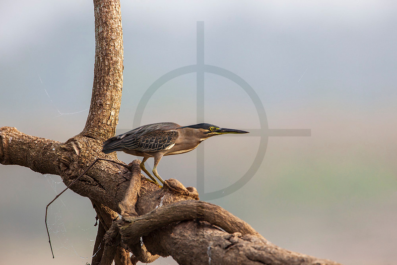 Striated heron on a fallen tree, banks of the Rapti River, Royal Chitwan National Park, Nepal