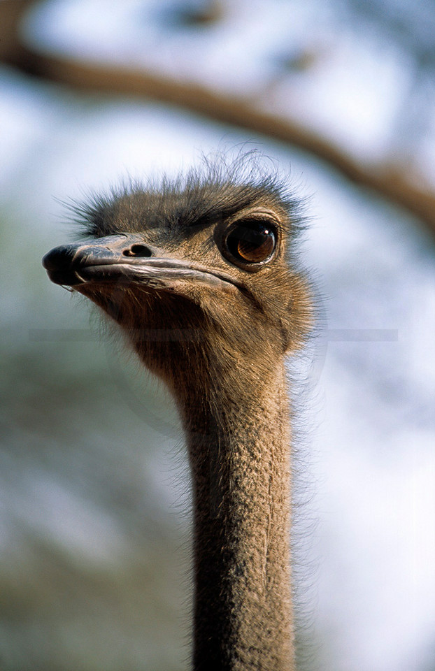 Curious ostrich, Omaruru Game Lodge, Namibia