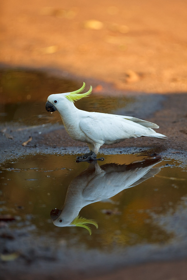 Sulphur-crested cockatoo drinking at dawn, Kakadu National Park, Northern Territory, Australia