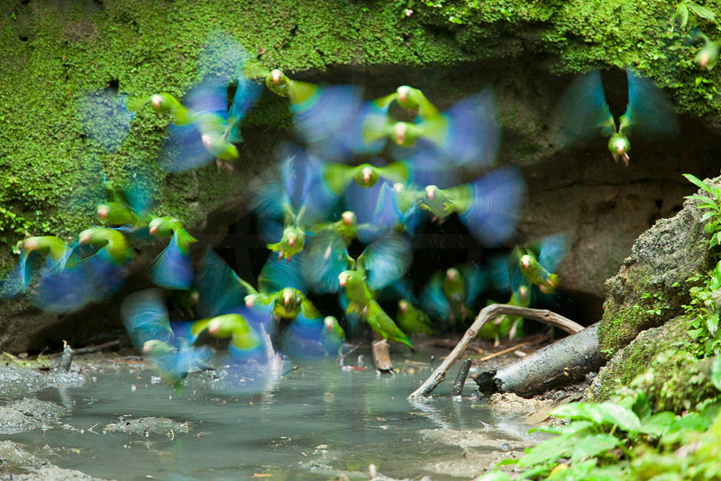 Cobalt-winged parakeets at clay lick, Yasuni National Park, Ecuador