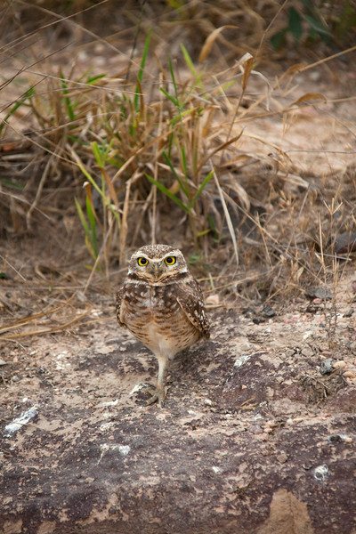 Burrowing owl standing on one leg in the cerrado, Mato Grosso, Brazil
