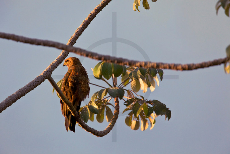 Savanna hawk perching on cecropia tree, Pantanal, Brazil
