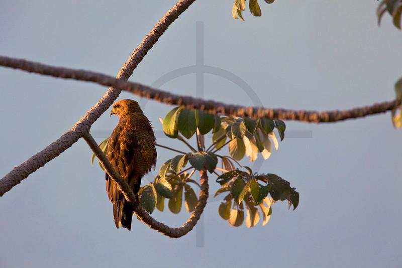 Savanna hawk perching on cecropia tree, Pantanal, Brazil