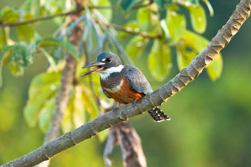Ringed kingfisher (female) perching on a cecropia tree, Pantanal, Brazil