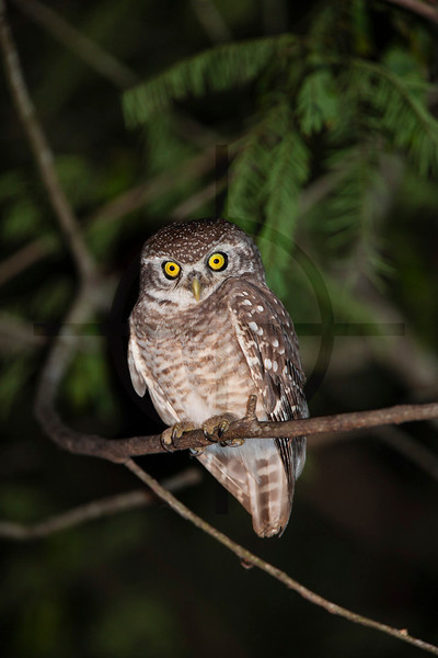 Spotted owlet at night, Koshi Tappu Wildlife Reserve, Eastern Terai, Nepal