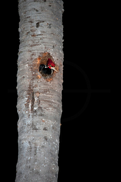 Crimson-crested woodpecker (female) in her nest in a palm tree at night, Pantanal, Brazil