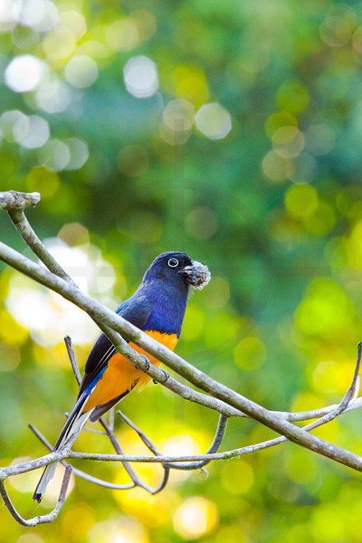 Amazonian white-tailed trogon (male) with dead moth or caterpillar in beak, Yasuni National Park, Ecuador