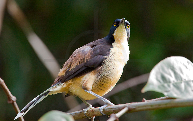 Black-capped donacobius, Yasuni National Park, Ecuador